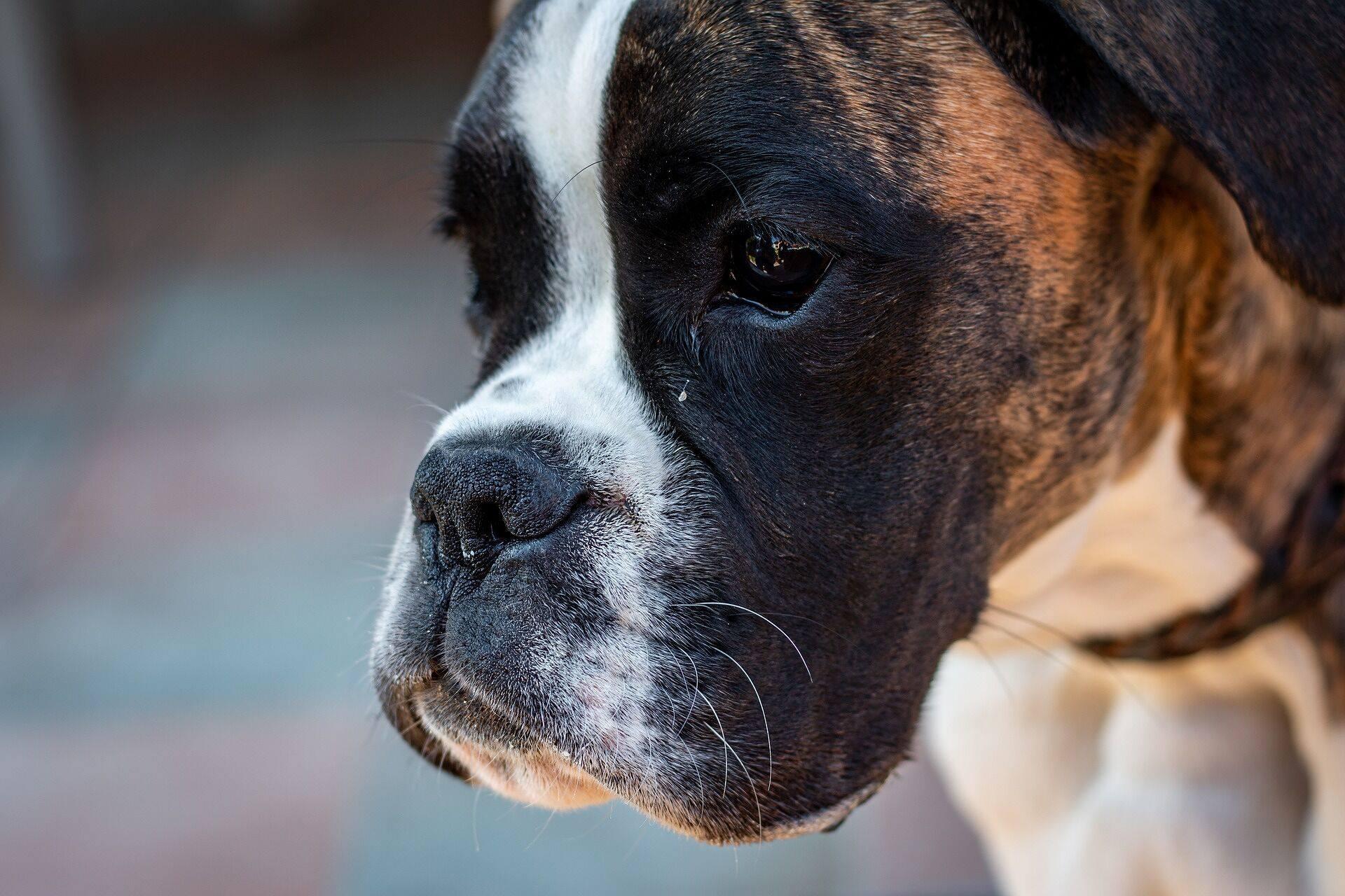 boxer dog animal pet portrait