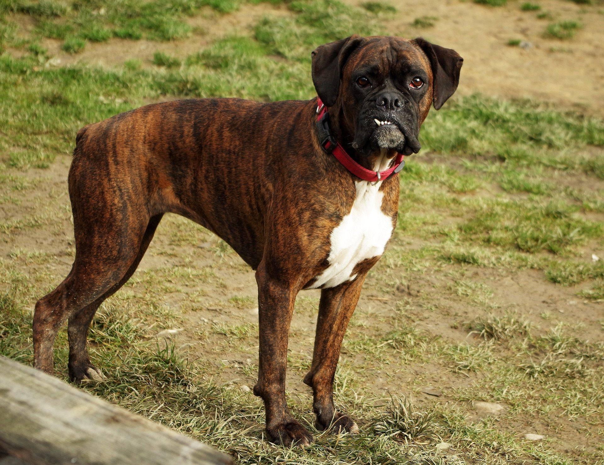 boxer dog brindle pet animal