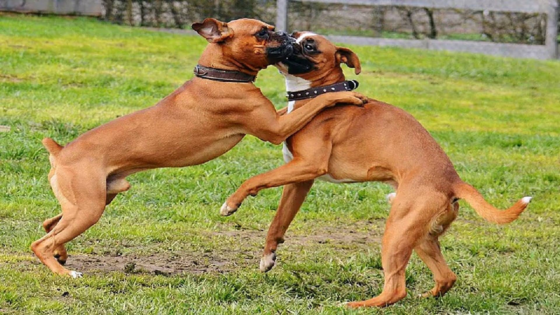 boxer dog playing animal pet