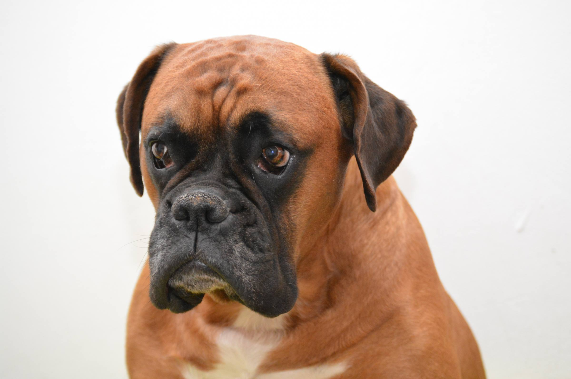 boxer dog portrait animal pet