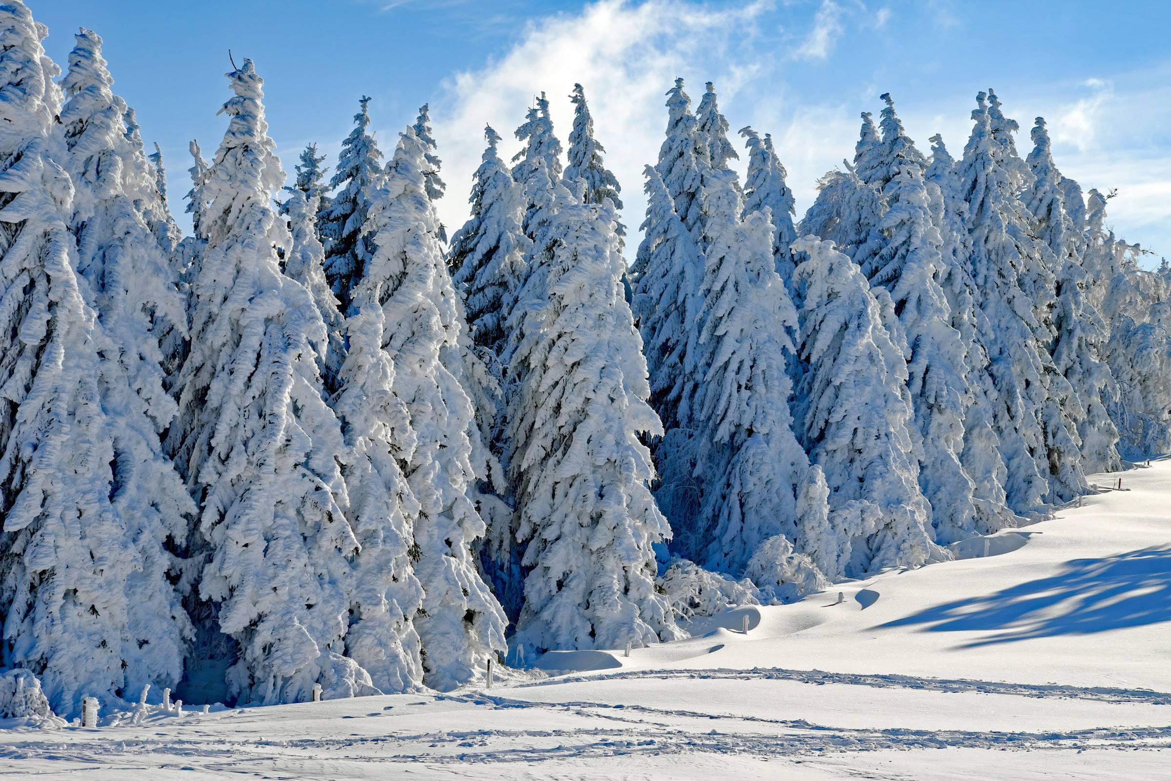 winter fir trees snow blue sky