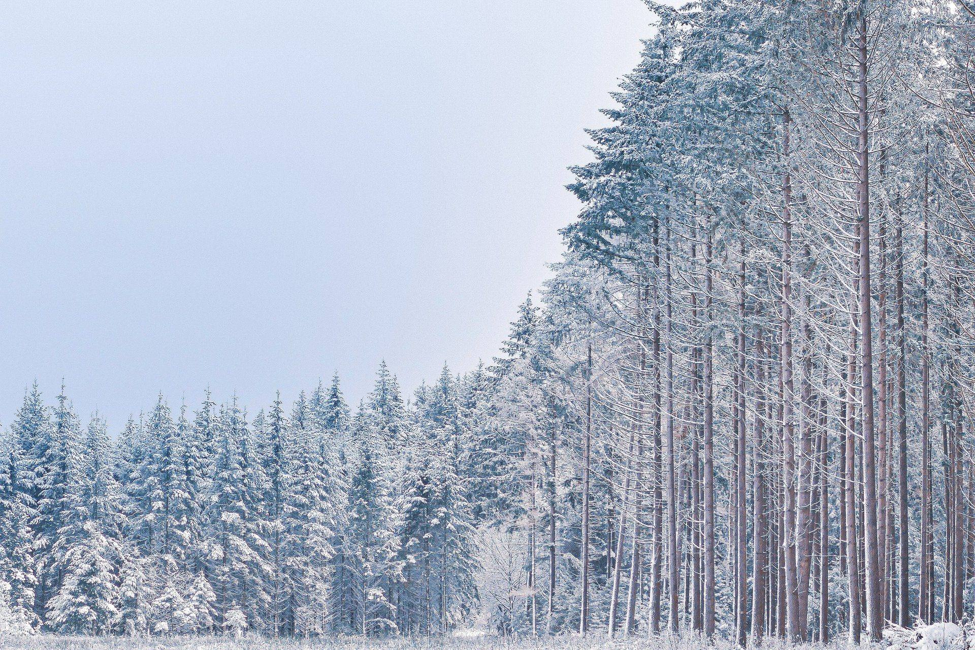winter forest snow trees