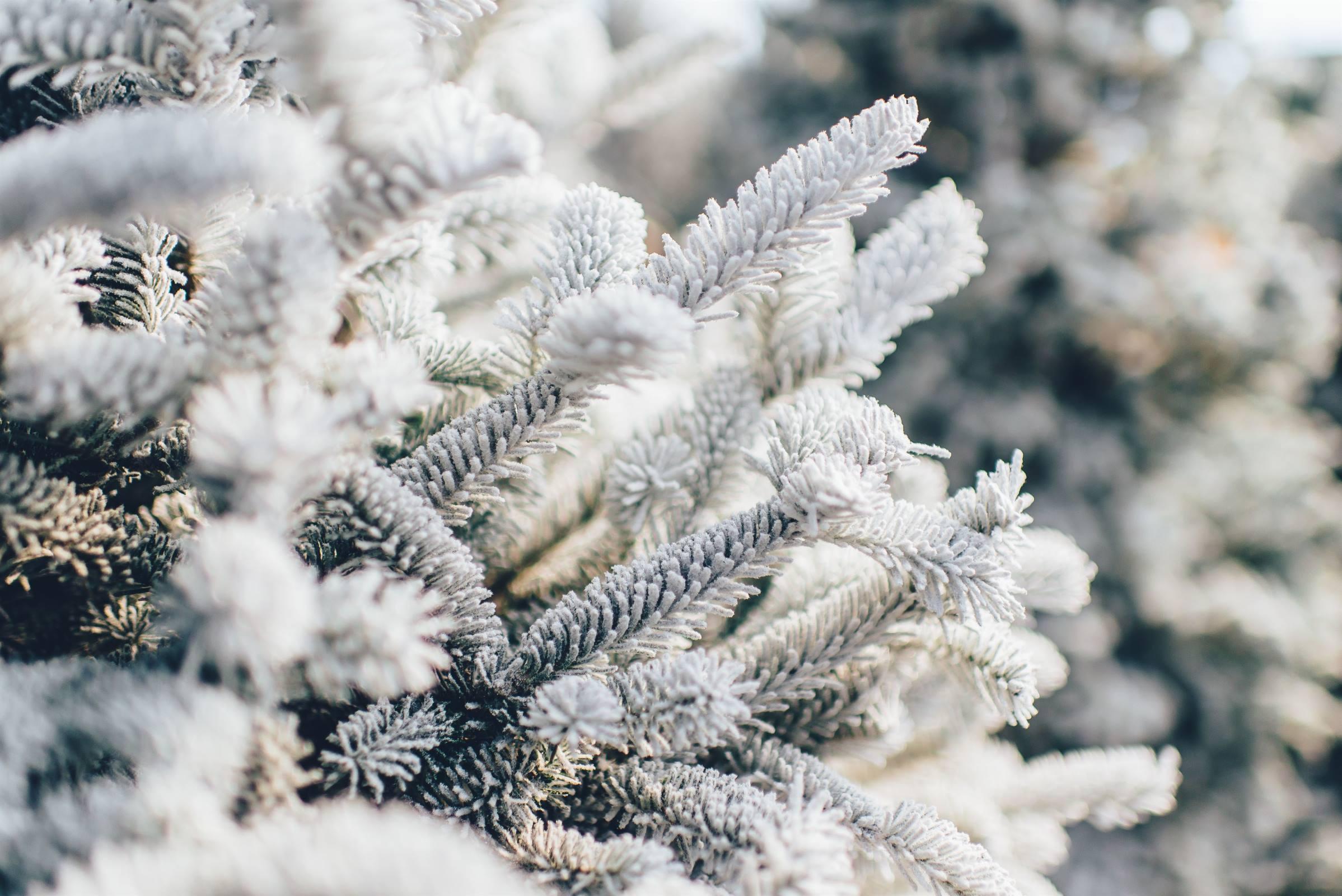 winter snow ice pine tree