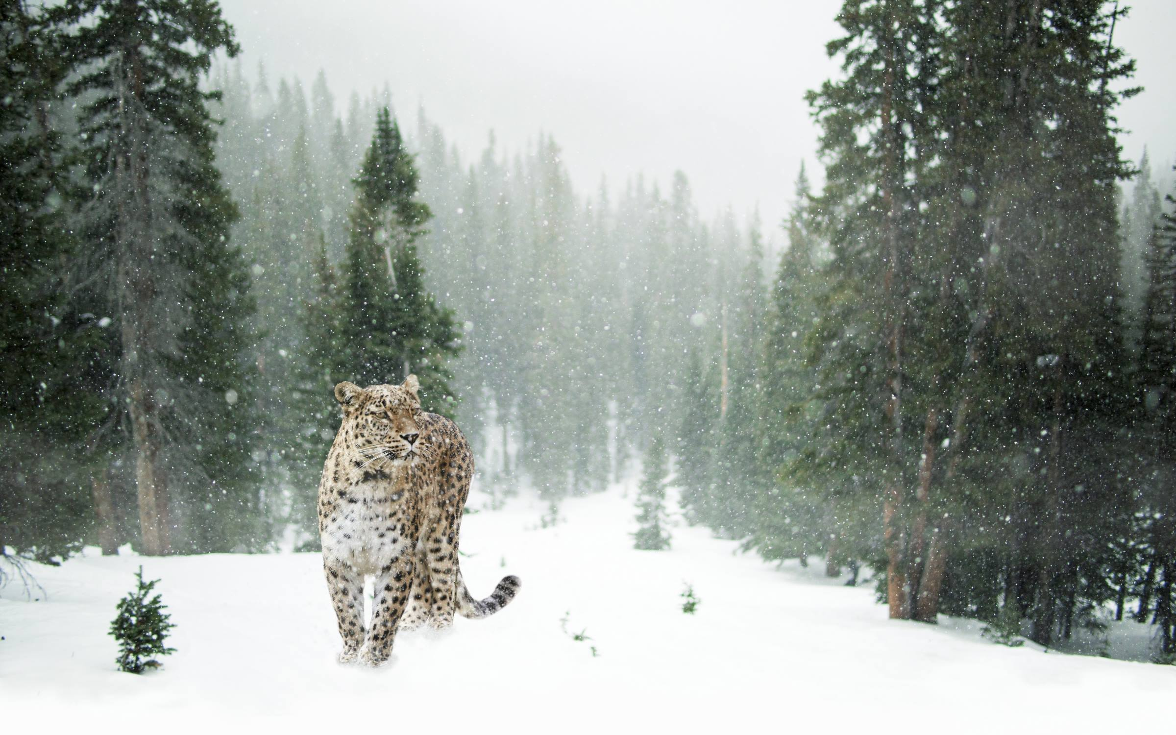 winter snow leopard animal trees forest