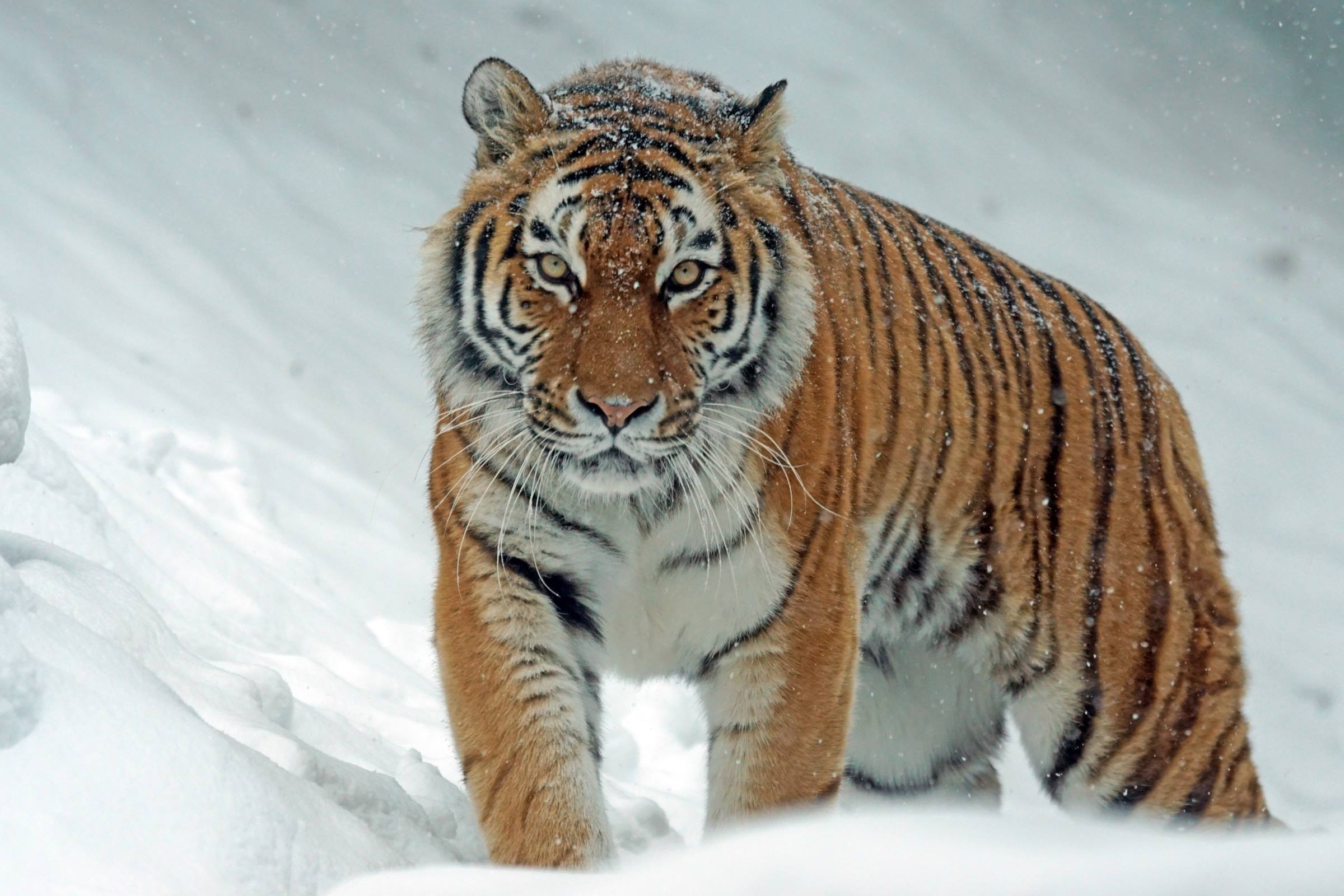 winter tiger snow animal