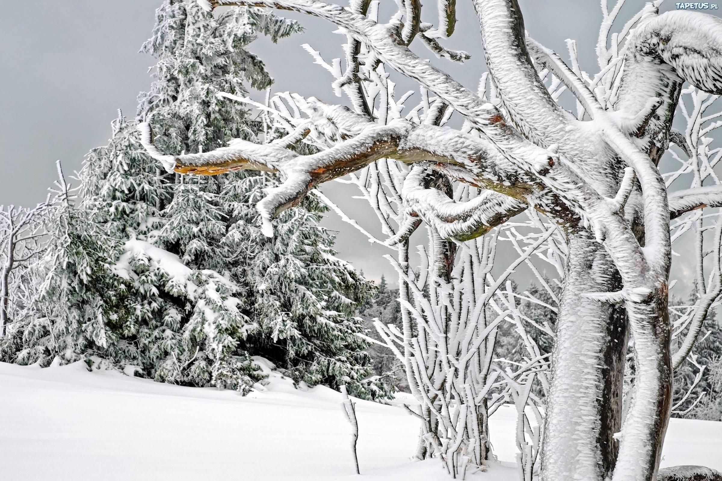 winter tree ice snow fir trees