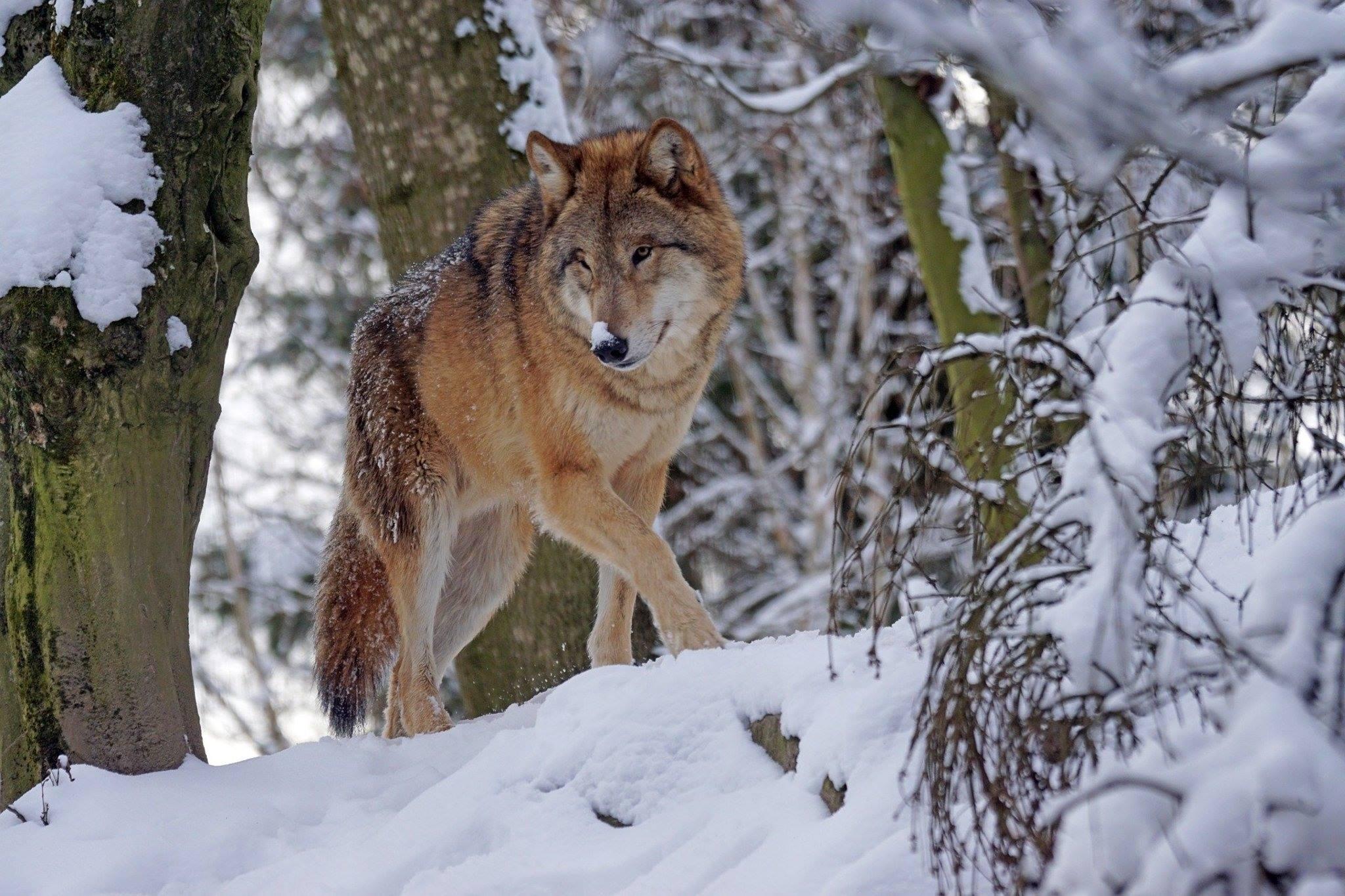 winter wolf snow trees animal