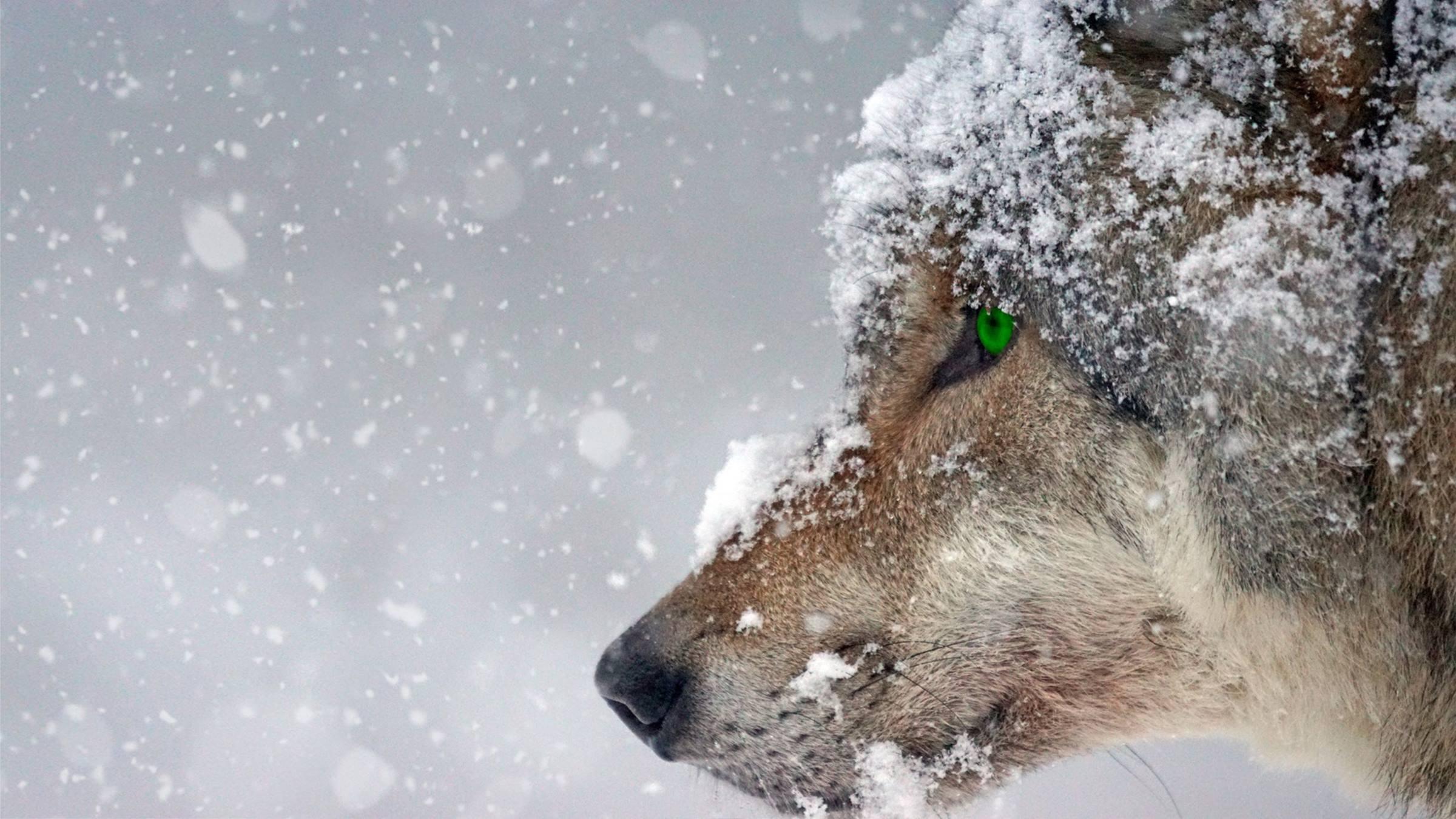 winterwolf snowing snow portrait animal
