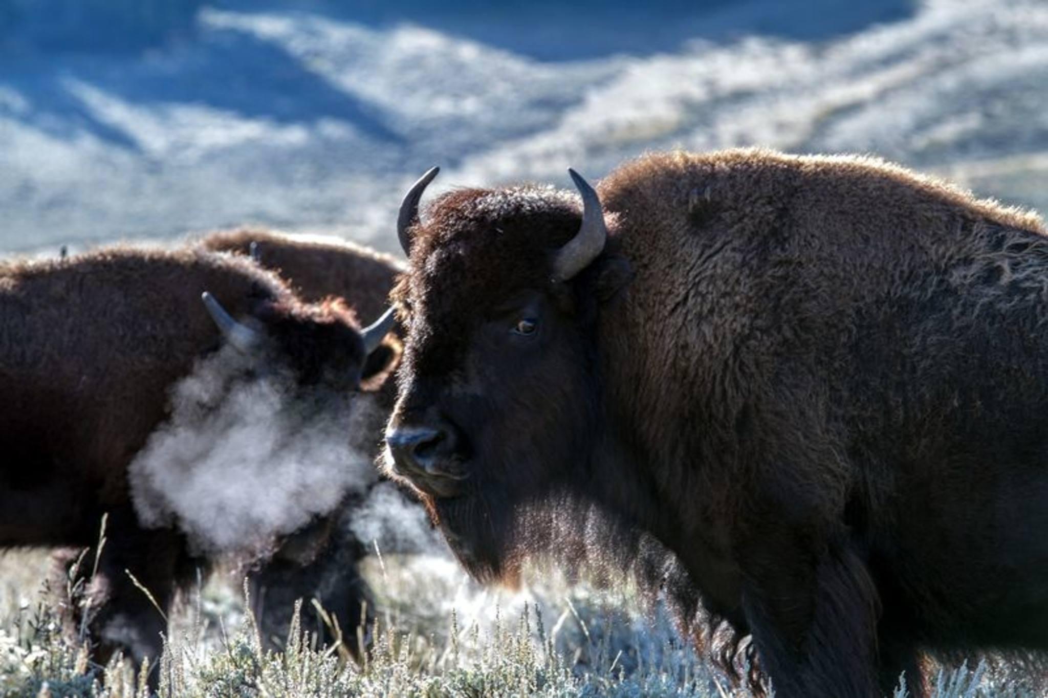 yellowstone national park bison animals