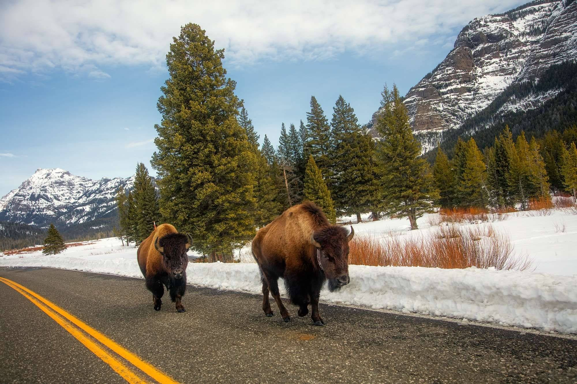 yellowstone national park bison road snow mountains animals
