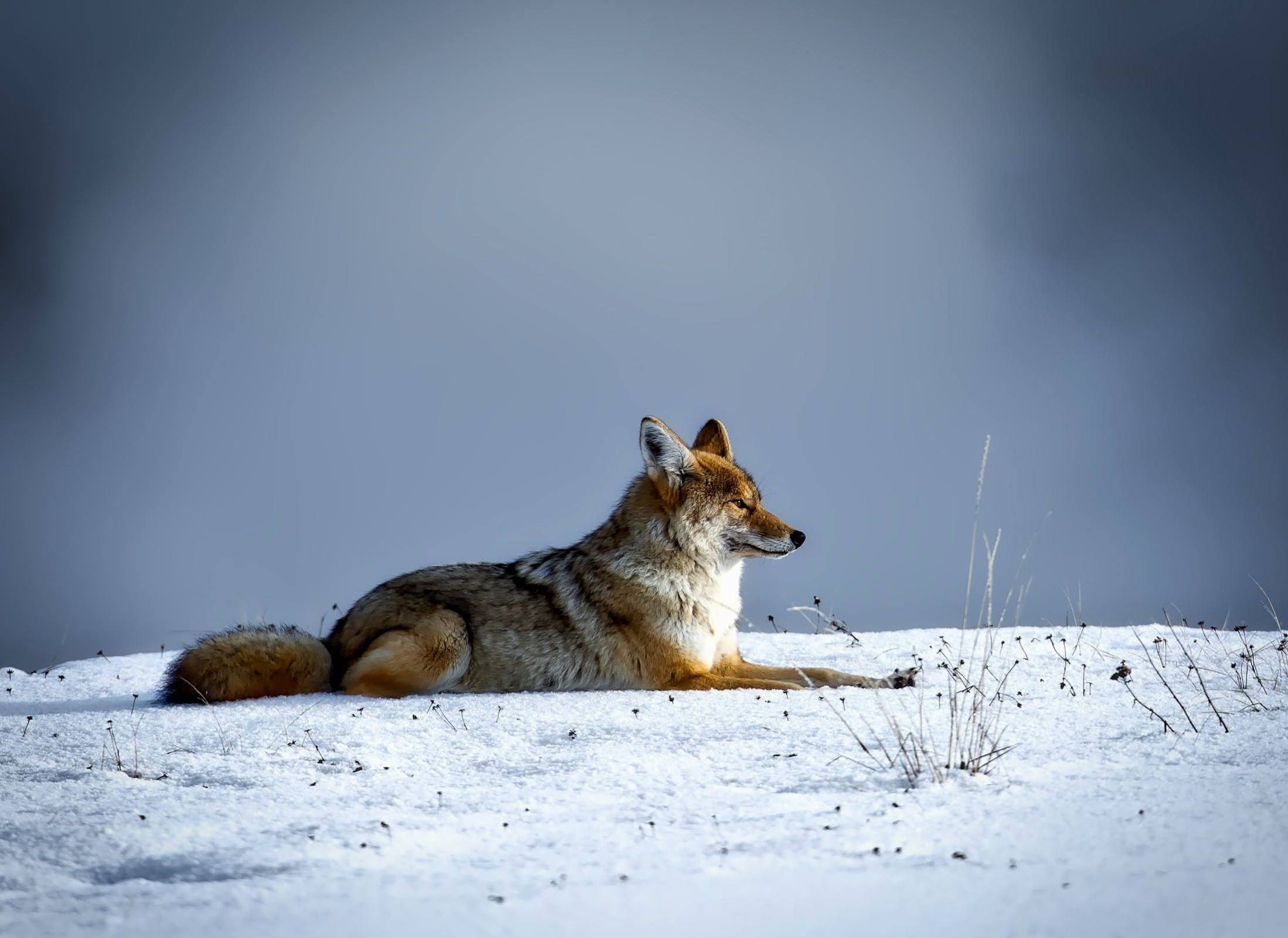 yellowstone national park snow fox animal