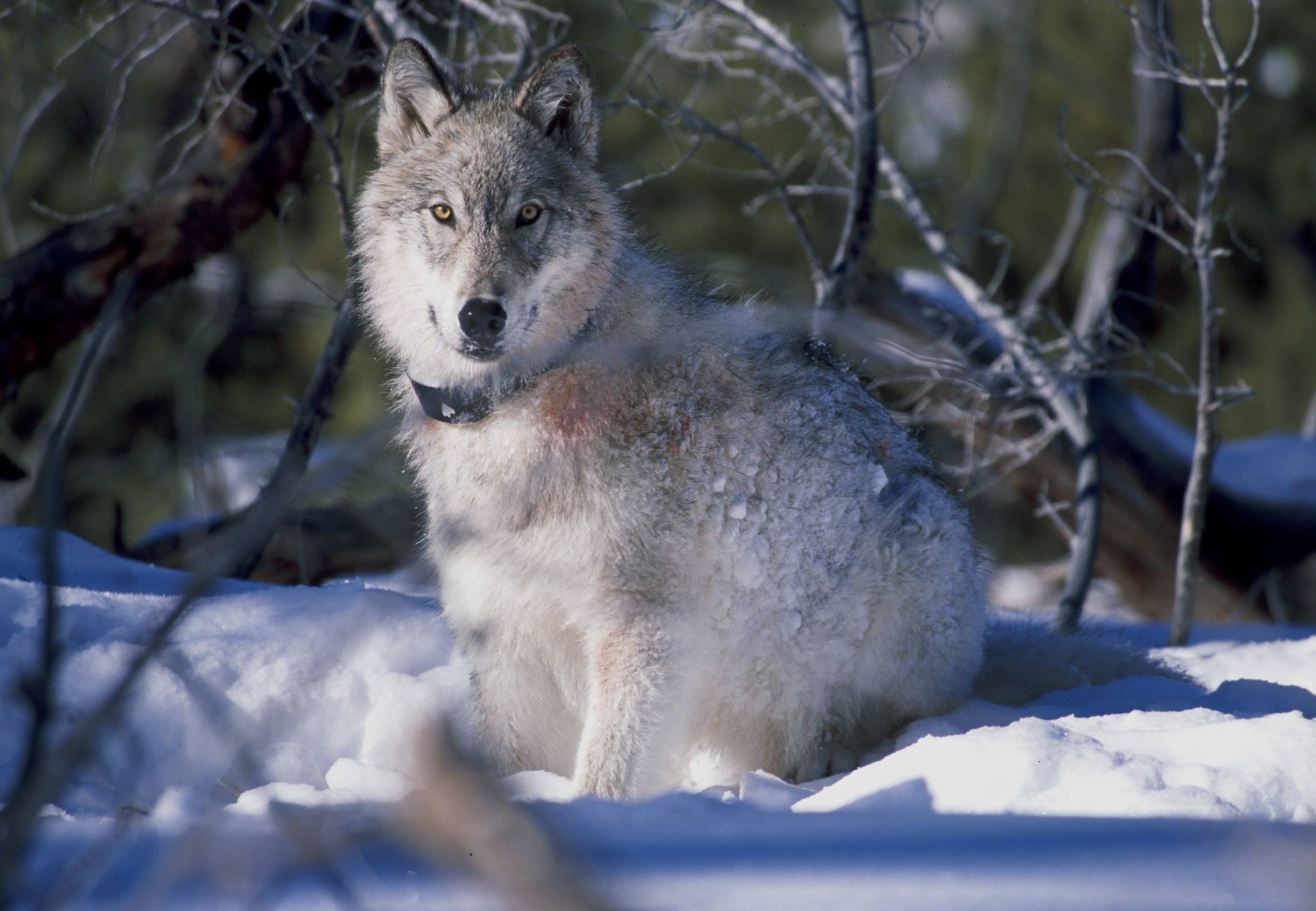 yellowstone national park wolf snow animal