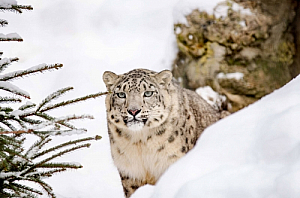 winter snow leopard fir tree animal