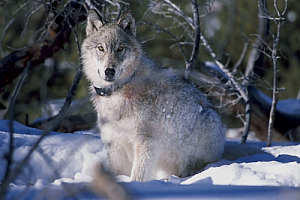 yellowstone national park wolf snow animal