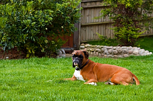 boxer dog backyard pet animal