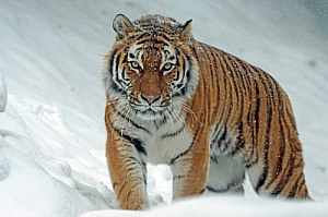 winter tiger snow animal