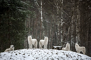 winter wolves forest snow animals