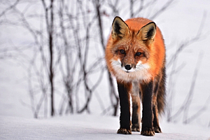 winter fox animal snow trees