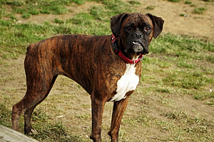 boxer dog brindle pet animal