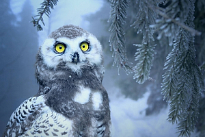 winter snow owl pine tree