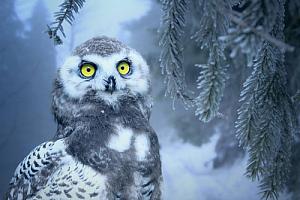 winter snow owl pine tree