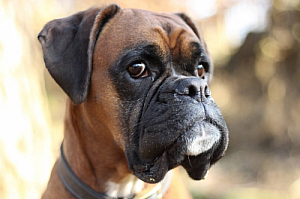 boxer dog brown face pet animal