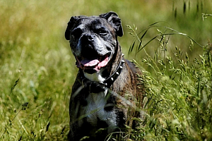 boxer dog grass brindle pet animal