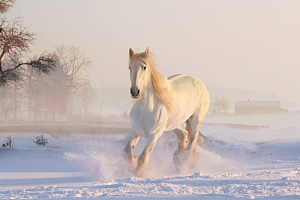 winter snow white horse animal