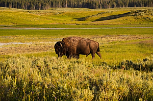 yellowstone national park bison plain forest animal