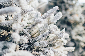 winter snow ice pine tree