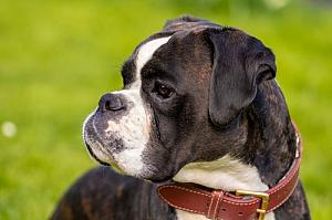 boxer dog portrait pet animal