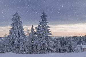winter forest snow snowfall